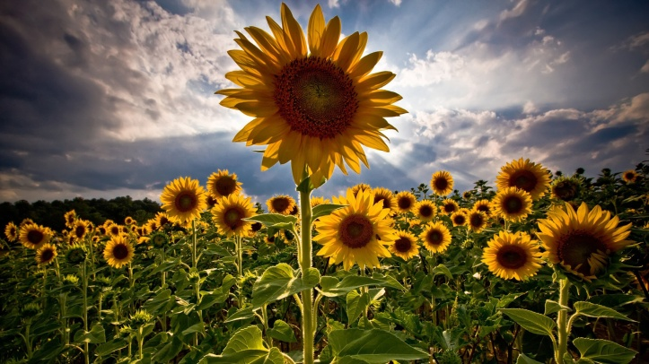 field-of-sunflowers